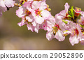 Blossoming peach tree 29052896