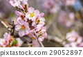 Blossoming peach tree 29052897