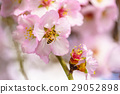 Blossoming peach tree 29052898