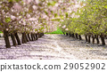 garden with flowering fruit trees 29052902