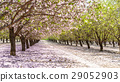 garden with flowering fruit trees 29052903