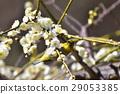 小鸟 梅 花朵 29053385