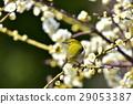 小鸟 梅 花朵 29053387