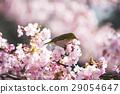 kawaji sakura, cherry blossom, cherry tree 29054647