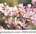 kawaji sakura, cherry blossom, cherry tree 29054648
