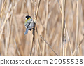 Yatsu tidelid野鸟 29055528