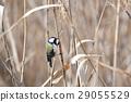 Yatsu tidelid野鸟 29055529