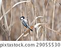 Yatsu tidelid野鸟 29055530
