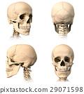 背景 骨头 颅骨 29071598