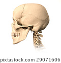 Human skull, side view. 29071606