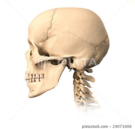 Human skull, side view. 29071606