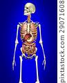 Man skeleton with internal organs 29071608