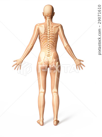 Woman body with bone skeleton superimposed, viewed from the back. 29071610