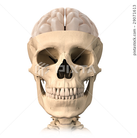 Human skull cutaway, with half brain shown on top, front view. 29071613