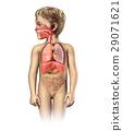 Child anatomy full respiratory system cutaway. 29071621