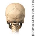 Human skull, back view. 29071646