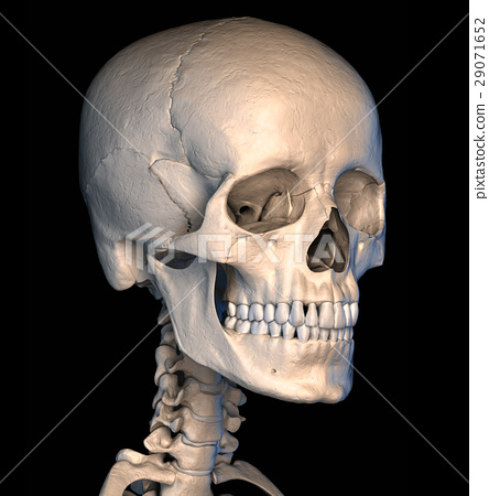 Human skull close-up. Perspective view. 29071652
