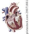 Human heart cross section. 29071661