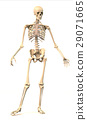 Male Human skeleton, in dynamic posture, front view. 29071665
