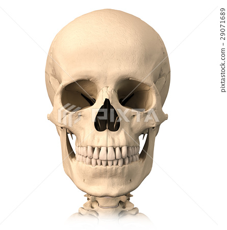Human skull, front view. 29071689