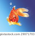 Gold fish facing the viewer, with some water bubbles, on blue gradient background. 29071703