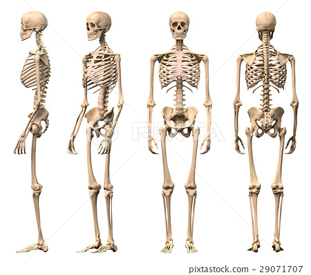 Male Human skeleton, four views, front, back,side and perspective. 29071707