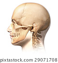 Male human head with skull in ghost effect, side view. 29071708