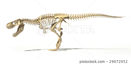 T-Rex photo-realistic full skeleton. Side view. 29072052