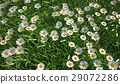 Bird eye view of a grass meadow, plenty of daisy flowers. 29072286