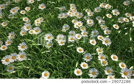 Bird eye view of a grass meadow, plenty of daisy flowers. 29072286