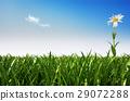 Lonely daisy flower in a grass field. 29072288