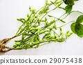 edamame, soybeans, bean 29075438