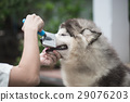 woman using a comb brush the siberian husky puppy 29076203
