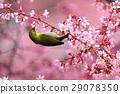 small bird, sclera, okame-zakura 29078350