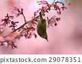 small bird, sclera, okame-zakura 29078351