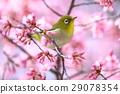 small bird, sclera, okame-zakura 29078354