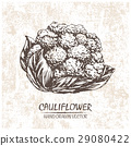 Digital vector cauliflower hand drawn illustration 29080422
