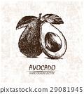 avocado illustration drawn 29081945