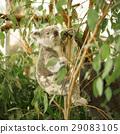 Koala in a eucalyptus tree. 29083105