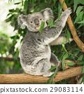 Koala in a eucalyptus tree. 29083114