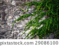 stone walls overgrown with green ivy 29086100