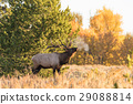 Bull Elk in the Fall rut 29088814
