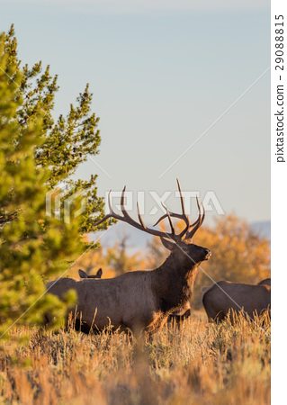 Bull Elk in the Fall rut 29088815