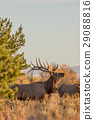 Bull Elk in the Fall rut 29088816