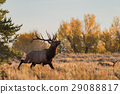 Bull Elk in the Fall rut 29088817