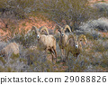 Desert bighorn Sheep Rams 29088826