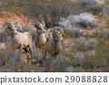 Desert bighorn Sheep Rams 29088828