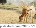 Two Cute Calfs Eating Hay 29089721