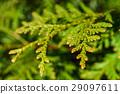 Yellow green leaves of arborvitae 29097611