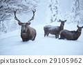 red deers 29105962